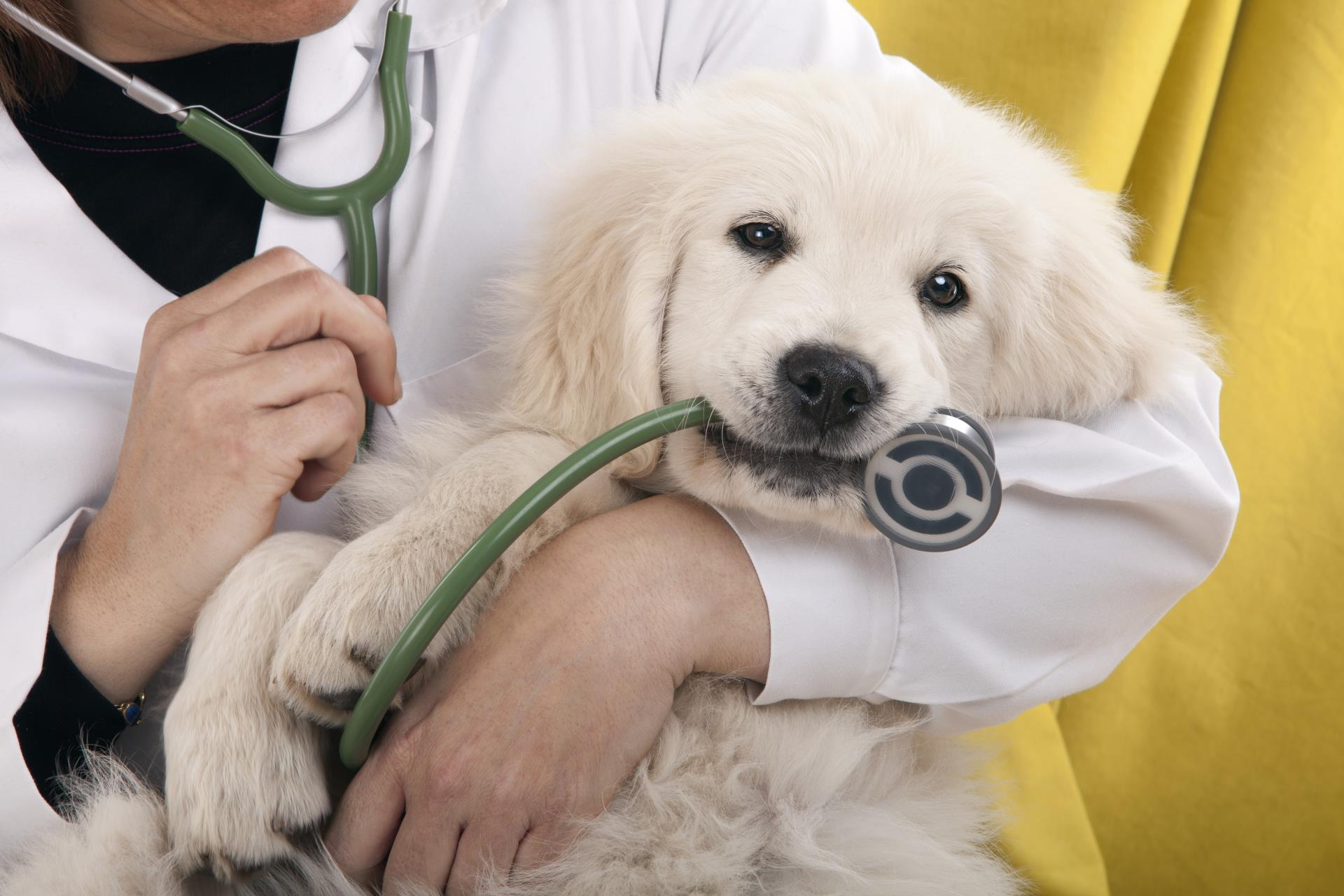 Puppy chewing on stethoscope